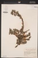 Ceanothus greggii var. vestitus image