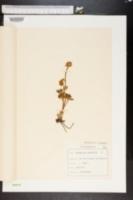 Image of Ranunculus glacialis
