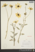 Helianthus niveus subsp. tephrodes image