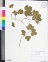 Image of Viburnum roseum
