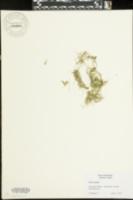 Chara vulgaris image