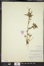 Ranunculus pensylvanicus image
