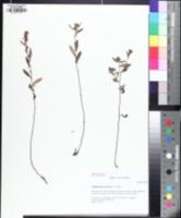 Image of Crocanthemum canadense