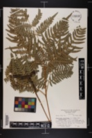 Pteridium aquilinum var. latiusculum image
