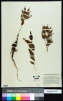 Eriosema crinitum image