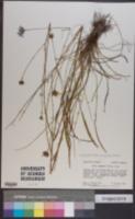 Symphyotrichum chapmanii image