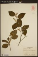 Image of Corylopsis sinensis