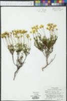 Chrysactinia mexicana image