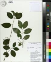 Euonymus kiautschovicus image