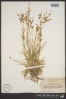 Luzula echinata image