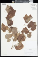 Image of Vitis arizonica