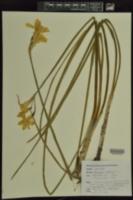 Narcissus x odorus image