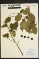Prunus mexicana image