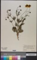 Thelesperma filifolium image
