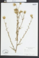 Carduus nuttallii image