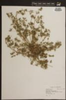 Geranium dissectum image