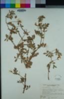 Acmispon grandiflorus var. grandiflorus image