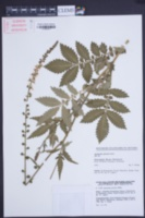 Agrimonia procera image