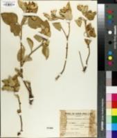 Image of Croton subpannosus