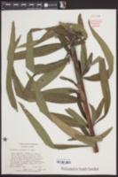 Helianthus simulans image