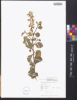 Crotalaria verrucosa image
