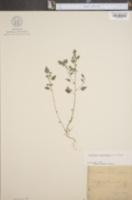 Image of Parietaria praetermissa