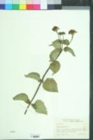 Lantana urticoides image