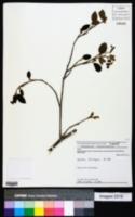 Image of Helicteres brevispira