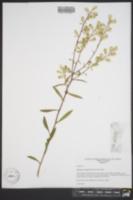 Solidago arenicola image