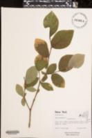 Dirca palustris image