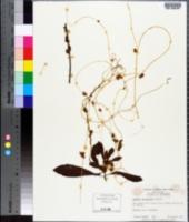 Cuscuta cephalanthi image