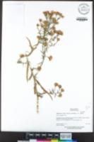 Symphyotrichum lentum image