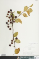 Image of Malus bracteata