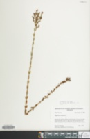 Image of Hypericum setosum