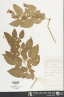 Jasminum sinense image