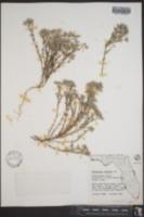 Polycarpaea nebulosa image