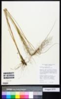 Eragrostis airoides image