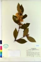 Camellia oleifera image