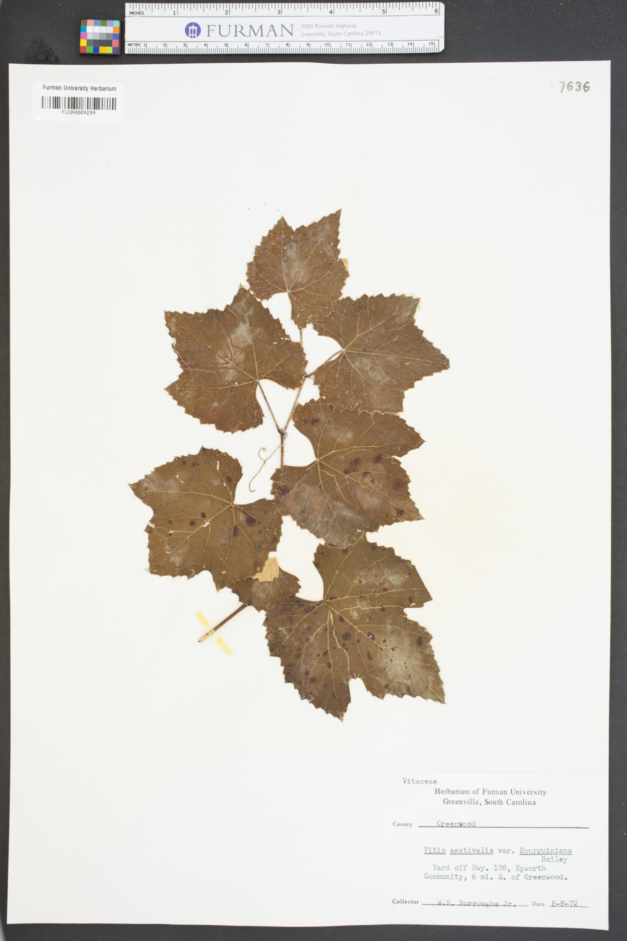 Vitis aestivalis var. bourquiniana image