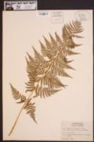 Dryopteris marginalis image
