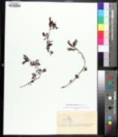 Image of Desmanthus leptolobus