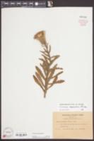 Cirsium repandum image