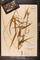 Sacciolepis striata image