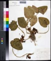 Hexastylis heterophylla image