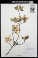 Cornus florida image