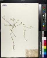 Image of Houstonia floridana