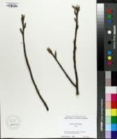 Leitneria floridana image