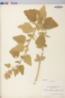Althaea officinalis image