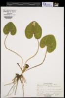 Image of Asarum heterophyllum
