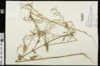 Raphanus raphanistrum image